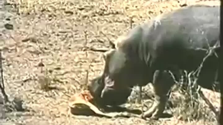 Amazing footage of hippo attacking crocodile