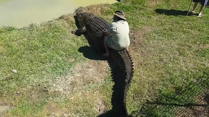 Crazy Crocodile Expert Takes One On A Ride