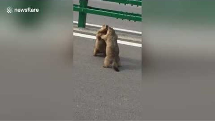 Road rage gets the better of Chinese marmots