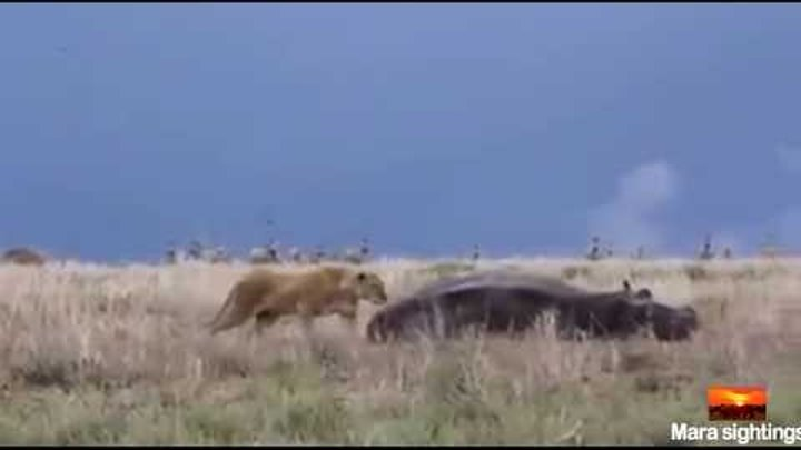 A lions attempt in hunting a hippo backfires horribly.