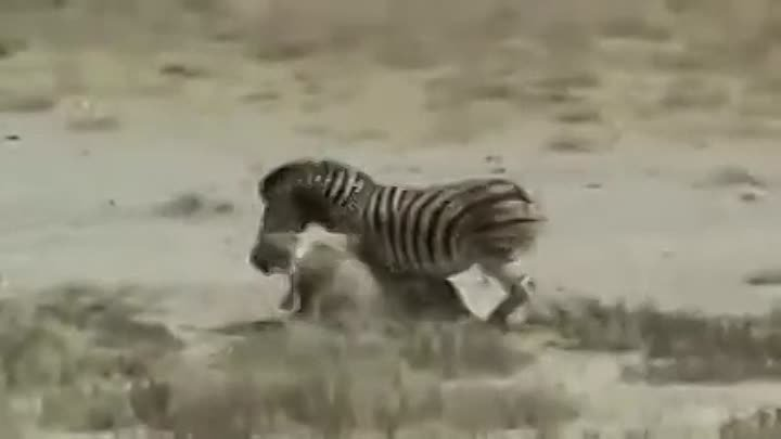 Zebra Kills and Eats Lion