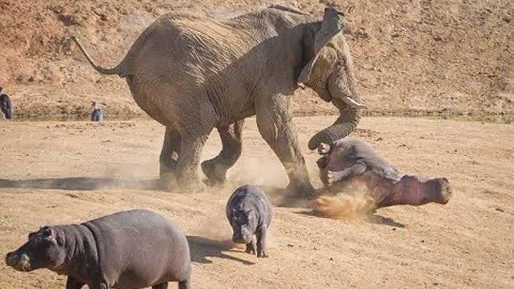Mother Elephant Defends Her Baby From Two Hippo | Elephants rescue Elephants from Animal Attack