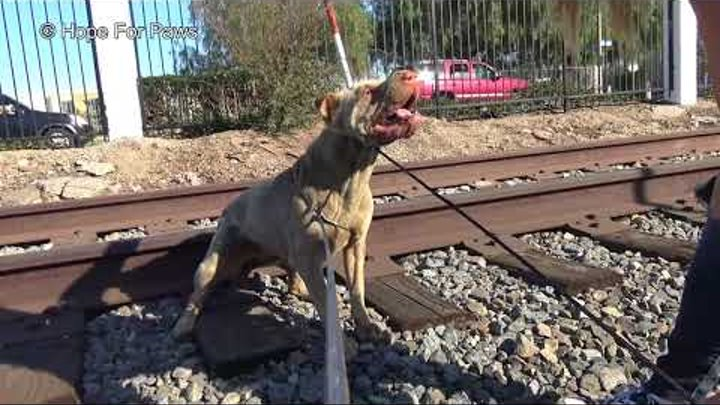 Injured Shar-Pei lives on the railroad tracks; rescuing her turned to be dangerous!