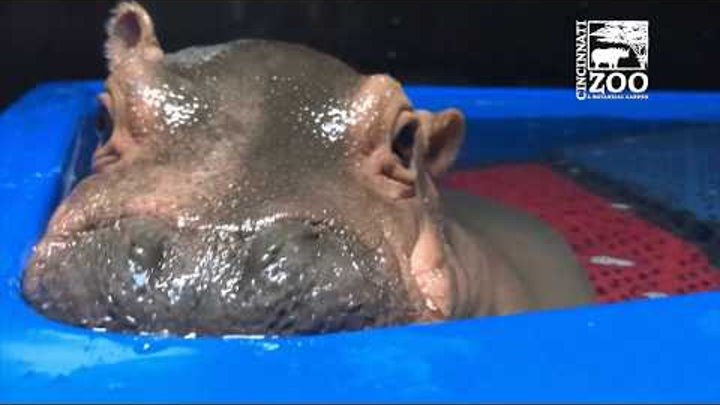 Baby Hippo Fiona's Special Moments: Never-before-seen Videos from Care Team - Cincinnati Zoo