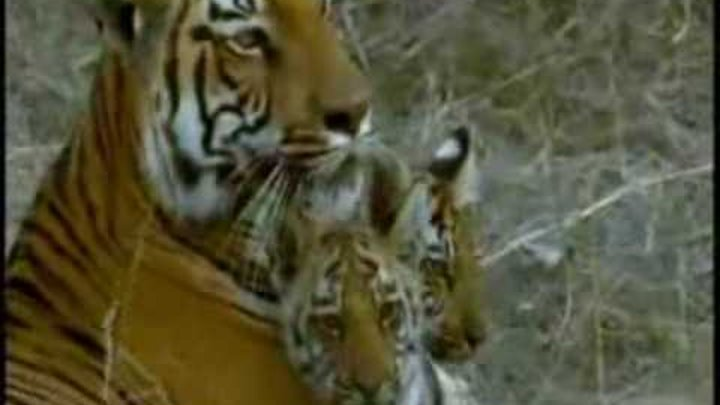 Tigers HUNTING! Cute cubs(Bengal, White and siberian Tigers)