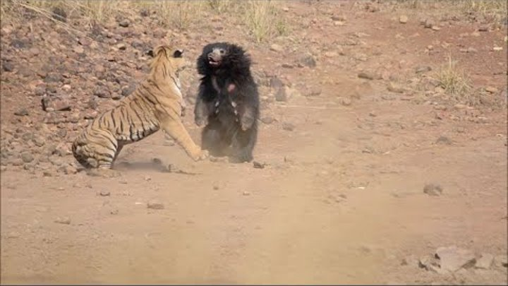 Sloth Bear Chases Off Tiger