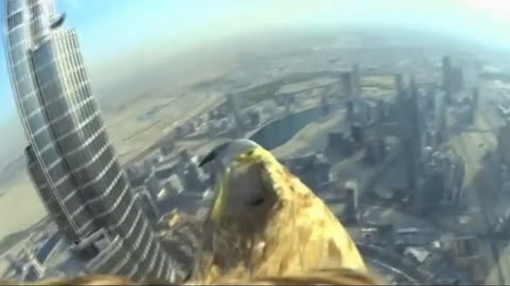Eagle with Sony Action Cam flies off top of Burj Khalifa in Dubai