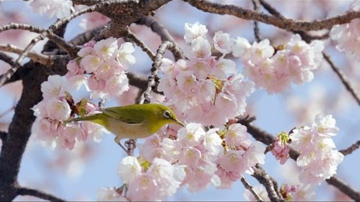 [ 4K Ultra HD ]メジロと大寒桜 Japanese-White-Eye with Cherry Blossoms (Shot on RED EPIC)