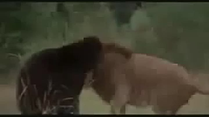 Huge African Lion vs American Black Bear