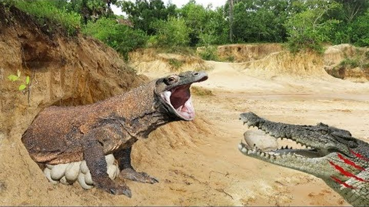 Crocodile Stalks Komodo Dragon Nest - Crocodile Vs Komodo Dragon, Crocodile Eat Komodo Dragon Eggs