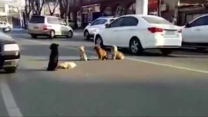 Stray dogs stage sit-in on busy road after car runs one over