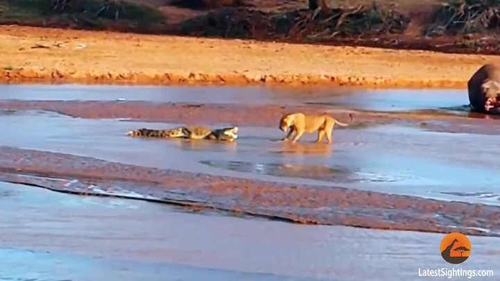 Epic Fight- Lions Attack a Crocodile (2 sets of fighting)