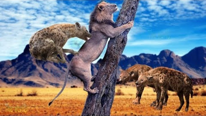 Lion is attacked by Pack of Hyenas - Hyena vs Lion, Rhino, Hippo - Lion hunt & attack Prey